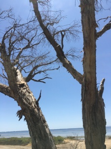 Point Grey dead trees